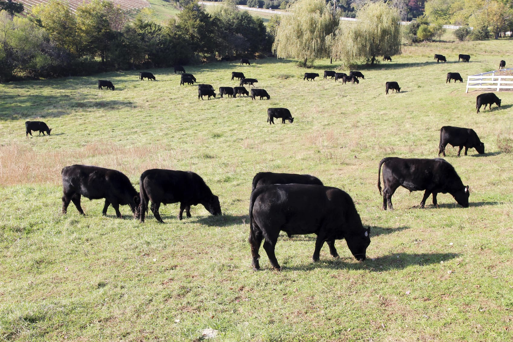 Black Angus beef cattle grazing in a pasture