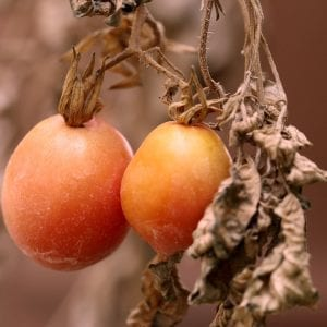 Tomatoes on withered plant
