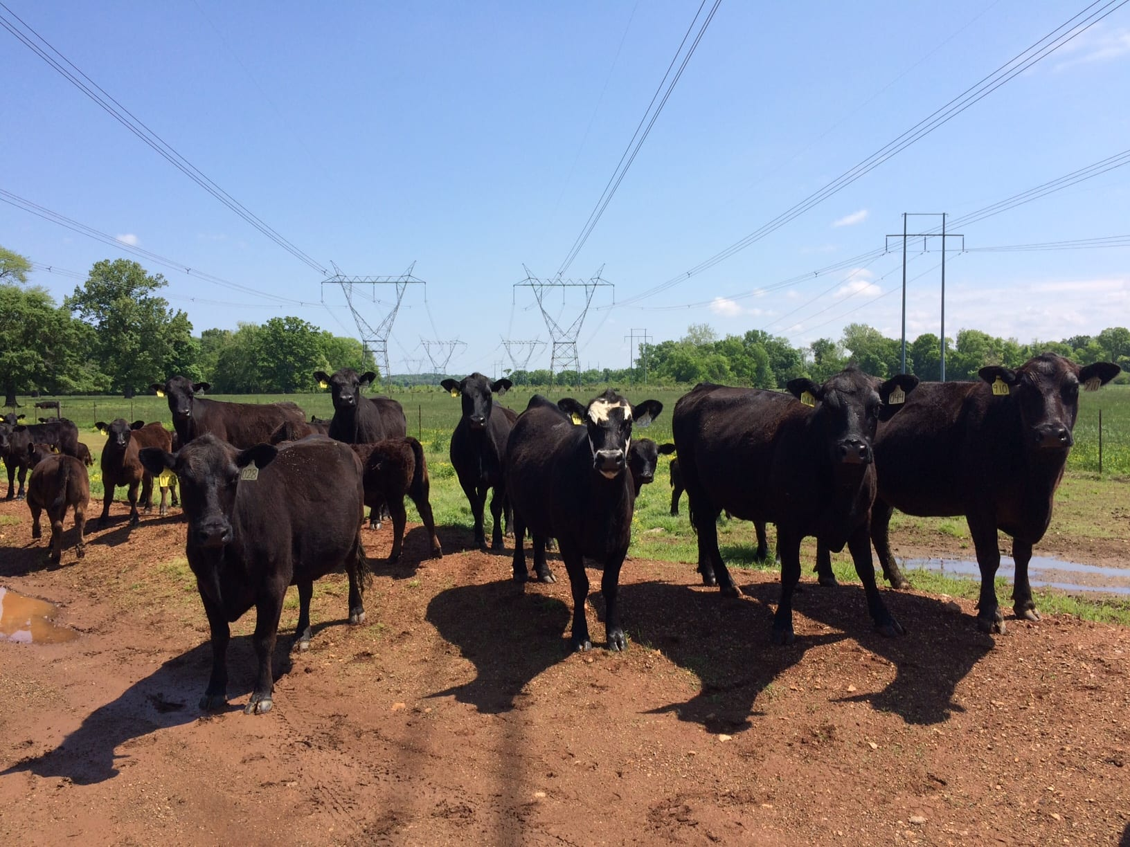 Beef cattle herd