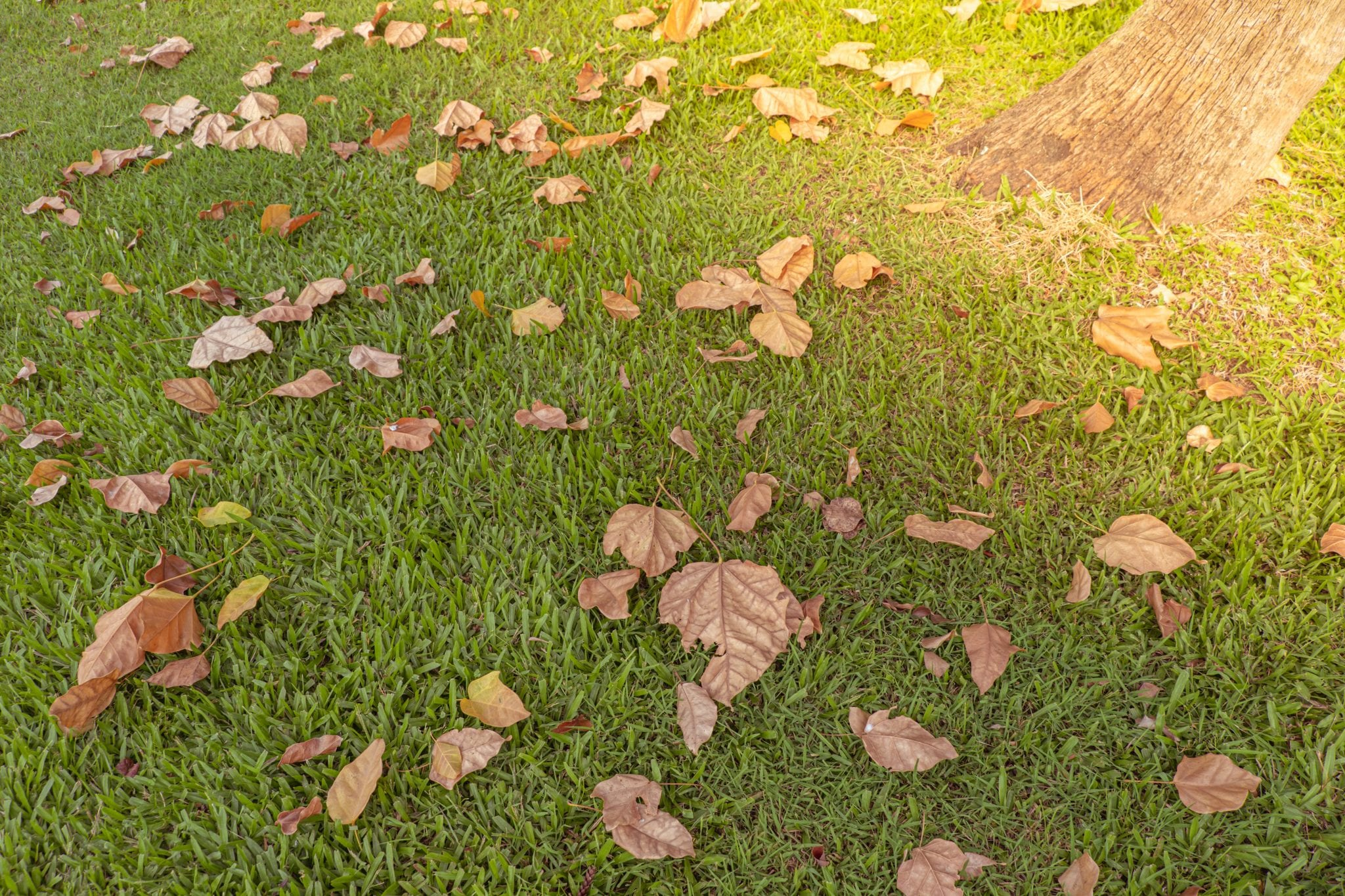 Brown leaves on turf