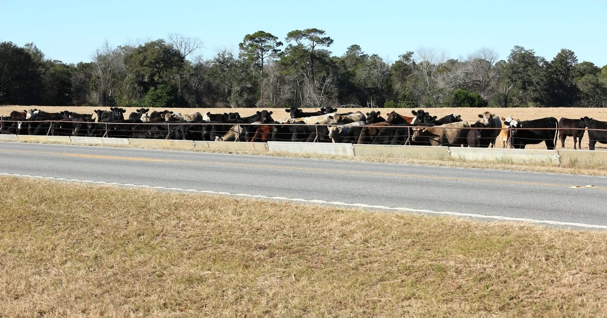 cattle at feed bunker
